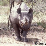 black rhino and red-billed oxpeckers