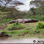 Hippos asleep in the Serengeti