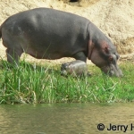 Hippo and small calf