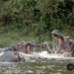 Another view of the hippo fight