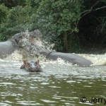 Hippos fighting