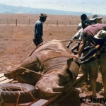 rhino catch, loading on to sled 1974