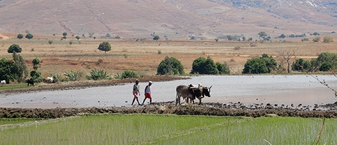 Cattle rice paddy preparation