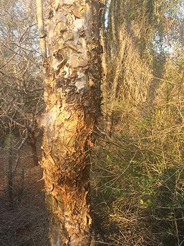 Tourist tree (peeling skin :-)