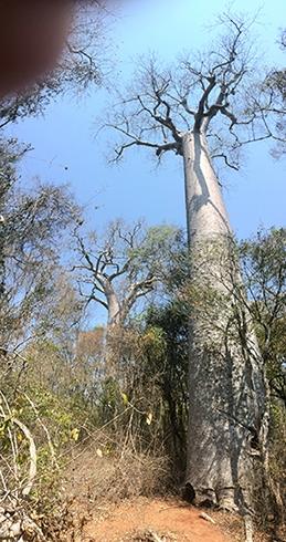 Zombetsi baobab