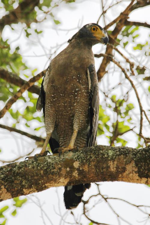 Serpent Eagle in Sri Lanka