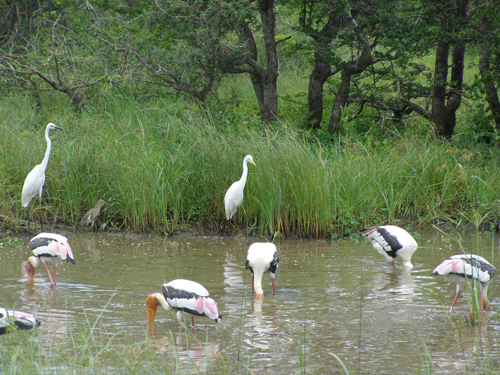 Storks and Egrets in Sri LankaMERA