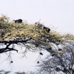 Baboons and weaver bird nests on acacia