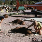 Drugged grizzly bears ready to be moved 1978
