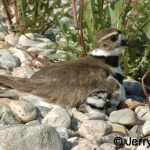 Kildeer parent & chick, day 1 after hatch