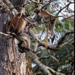 Red colobus monkeys