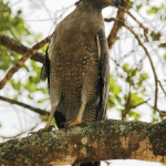Serpent Eagle in Sri Lanka