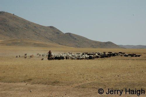 Horse herding sheep goats