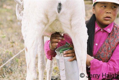 Morning milking of reindeer