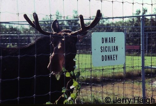 Mickey moose at some willows. The original caption in The Journal of Irreproducible Results read \'Developments in Bioengineering