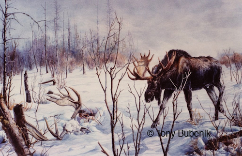 Painting by Tony Bubenik of an ecounter he witnessed. The bull is surprised to see the skull and antlers of a bull in the snow.