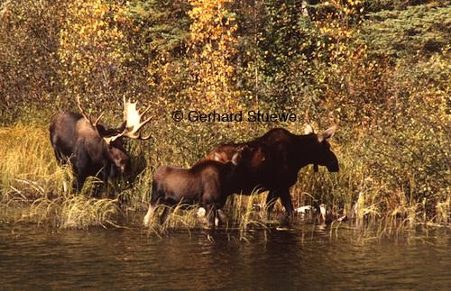 A bull, cow and calf during the rutting season