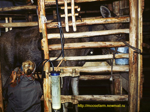 Machine milking at Kostroma moose farm