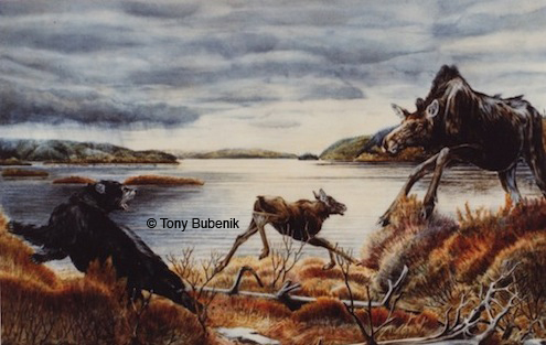 Painting by Tony Bubenik of an encounter between a black bear and a moose cow and calf. In some areas bears take 80% of the calf crop.