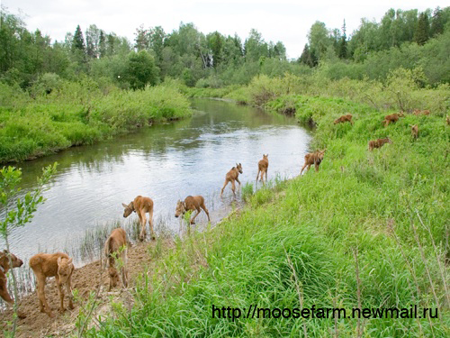 Daily swim time for moose calves at Kostroma