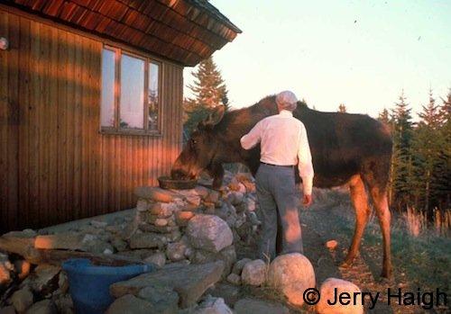 Miles Smeeton grooming a moose