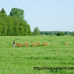 Early morning run for calves at Kostroma moose farm