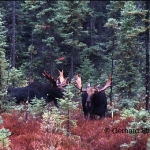 Two moose bulls just after competition encounter. The loser (at right) has turned away.